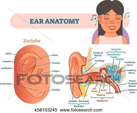 Ear Anatomy Medical Vector Illustration With Outer Middle And Inner Ear Cross Section Diagrams Clipart