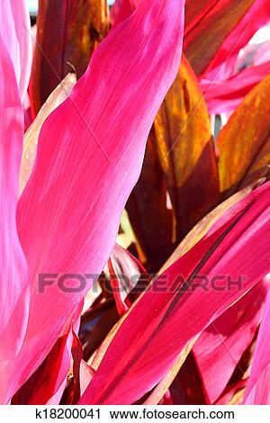 Stock photography of hot pink tropical plant leaves background a close up background of the hot pink leaves of a tropical cordyline fruticosa red sister plant in florida mightylinksfo