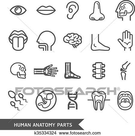 Clipart - menschliche anatomie, koerperteile, ausführlich ...