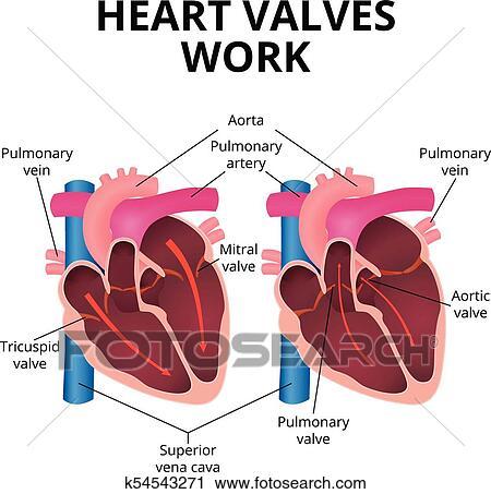 Clipart - anatomía, de, el, corazón humano k54543271 - Buscar Clip ...