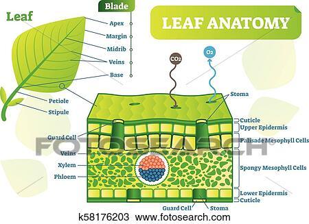 Leaf anatomy vector illustration diagram. Biological macro ...