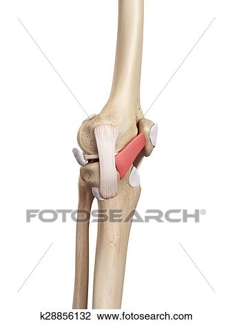 Clip Art of The medial patellar ligament k28856132 - Search Clipart ...