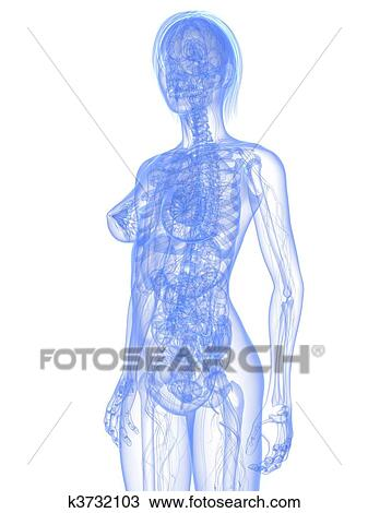 Drawing Of Female Anatomy K3732103 Search Clipart Illustration