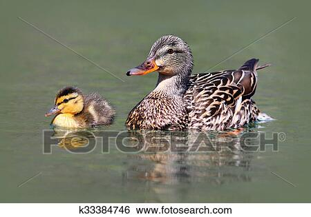 Mother And Baby Mallard Duck Stock
