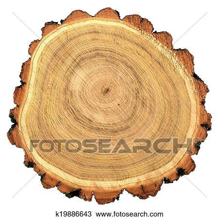 Rotondo, taglio, di, robinia, nero, locusta, albero Archivio Immagini
