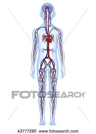 Colección de ilustraciones - sistema vascular k3777280 - Buscar ...