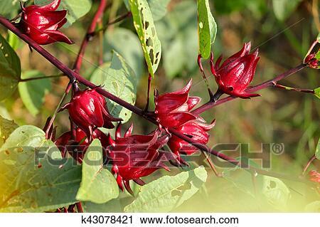 Red Roselle Flowers In The Garden Hibiscus Sabdariffa Healthy