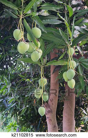 banque d 39 image mangues sur a mangue arbre k21102815 recherchez des photos des images. Black Bedroom Furniture Sets. Home Design Ideas
