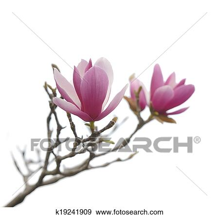 Stock Photograph Of Pink Magnolia Flowers Isolated On White