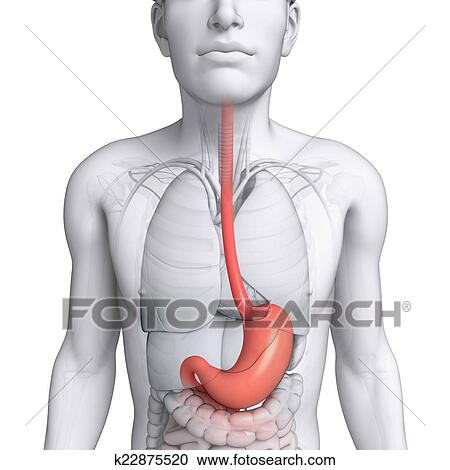 Stock Illustrations Of Stomach Anatomy Of Male K22875520 Search