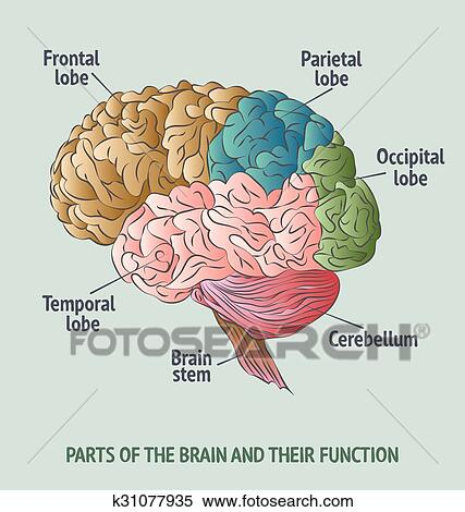 Parts Of The Human Brain Clipart