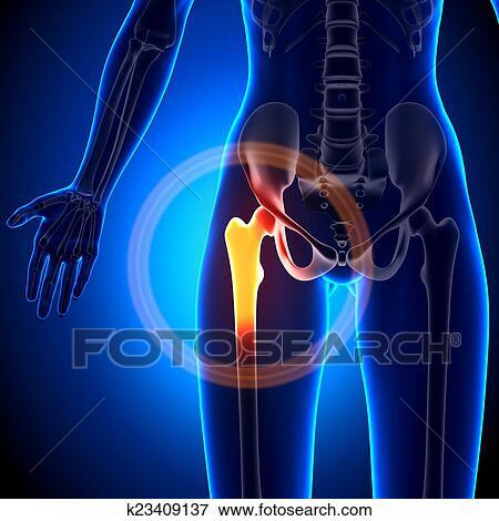 Foto - hembra, coyuntura cadera, -, anatomía, huesos k23409137 ...