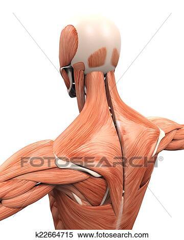 Colección de ilustraciones - muscular, anatomía, de, el, espalda ...