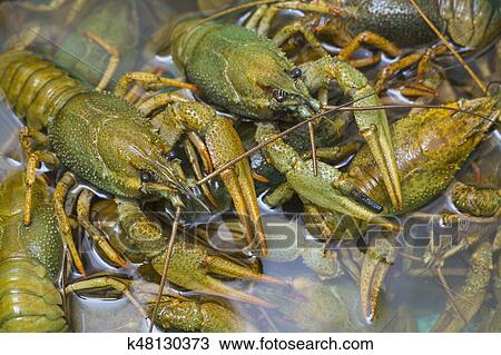 Live crawfish crawl in the water Stock Image