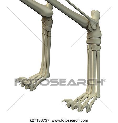 Colección de ilustraciones - gato, frente, piernas, anatomía, huesos ...