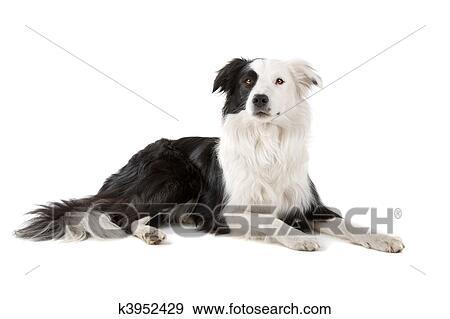 Stock Fotograf Schwarz Weiß Border Collie Hund K3952429 Suche
