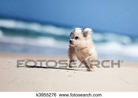 Stock Images Of Small Cute Dog Running On A White Beach K3955276