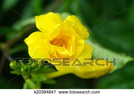 Picture of golden trumpet vine yellow bell flower k20394847 golden trumpet vine yellow bell flower allamanda cathartica l mightylinksfo