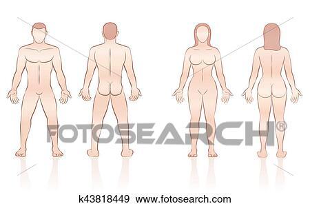 Clip Art - menschlicher körper, mann- frau, front, back k43818449 ...