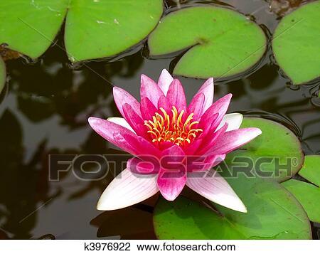 rouges n nuphar lotus fleur et feuilles vertes banque. Black Bedroom Furniture Sets. Home Design Ideas