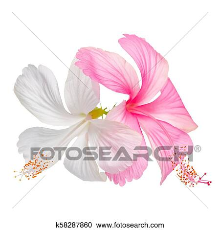 Couple Of Delicate Pink And White Hibiscus Flowers Is Isolated On