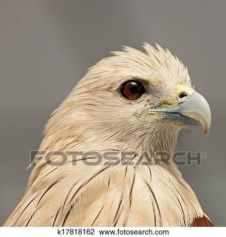 brahminy kite stock image  k17818162  fotosearch