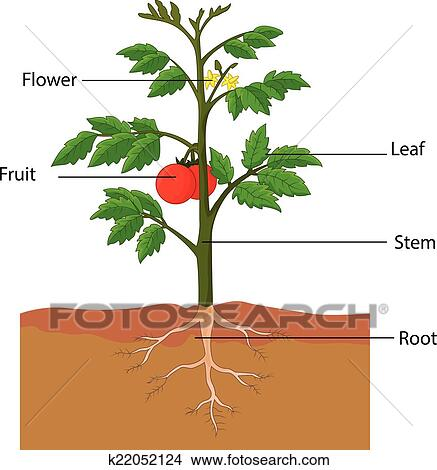 showing the parts of a tomato plant clipart__k22052124