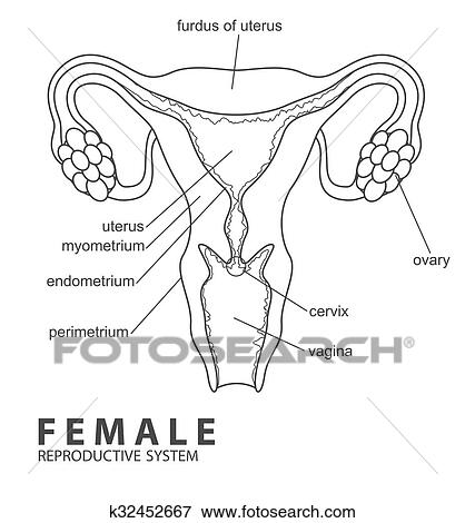 Clip Art of Female reproductive system k32452667 - Search Clipart ...