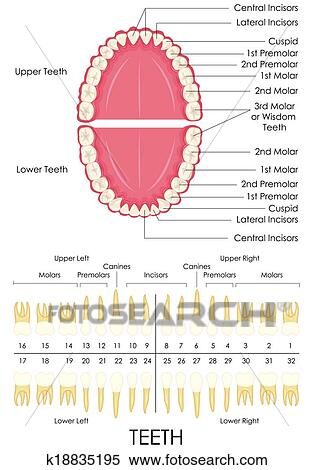 Clipart Of Human Dental Anatomy K18835195 Search Clip Art