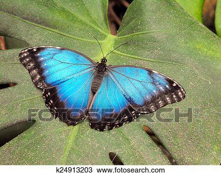 Common Blue Morpho Peleides Erfly At Rest
