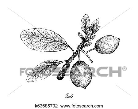 Hand Drawn Of Imbe Or Garcinia Livingstonei Fruits Clipart