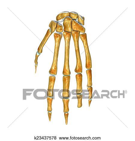 Stock Illustration - handgelenk k23437578 - Suche Clip Art ...