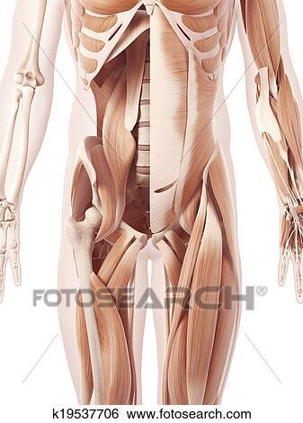 Colección de ilustraciones - el, músculos abdominales k19537706 ...