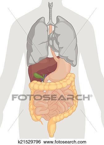 Clip Art - cuerpo humano, anatomía, -, digestivo, syst k21529796 ...