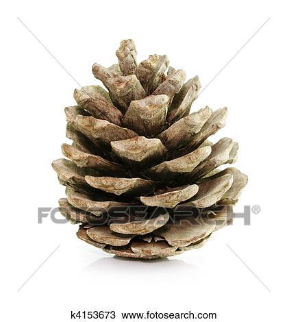 Bild Tannenbaum.Kiefer Tannenbaum Kegel Freigestellt Weiß Stock Bild