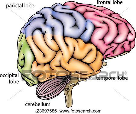Clip Art - cerebro, anatomía, diagrama k23697586 - Buscar Clip Art ...