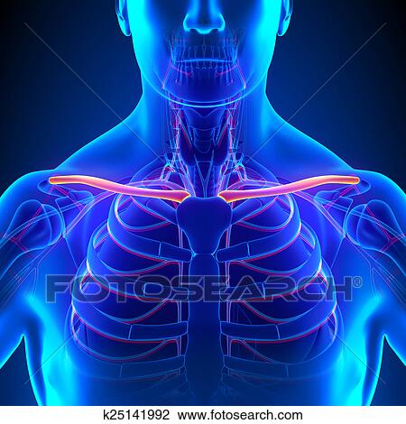 Clip Art Of Clavicle Bone Anatomy With Circulatory System K25141992