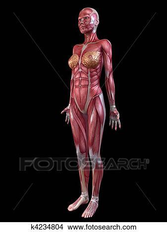 Dibujos - hembra, sistema muscular k4234804 - Buscar Clip Art ...