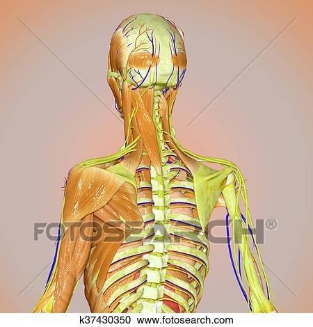 Banco de Fotografías - músculos, y, esqueleto, espalda k37430350 ...
