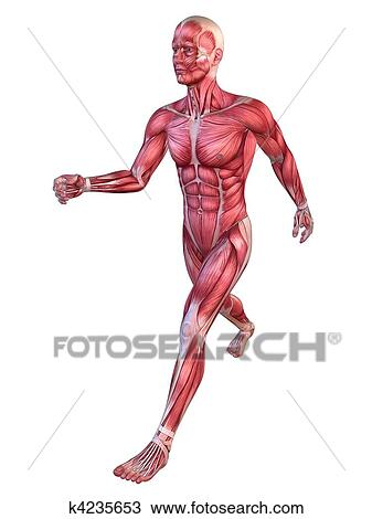 Drawing of male muscular system k4235653 - Search Clipart ...