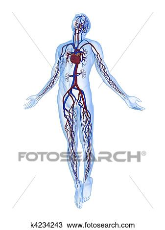 Drawing of vascular system k4234243 - Search Clipart, Illustration ...