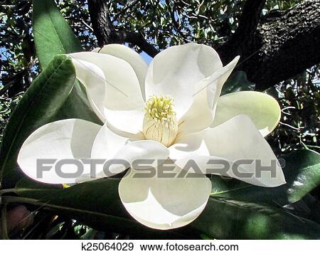 Archivio fotografico washington magnolia fiore for Magnolia pianta prezzi