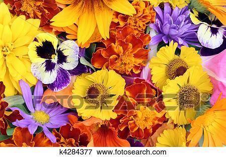 Bild August Blumen Mischling K4284377 Suche Stockfotografie