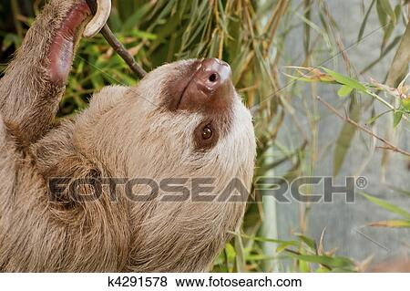 pictures of two toed sloth hanging from branch k4291578 search