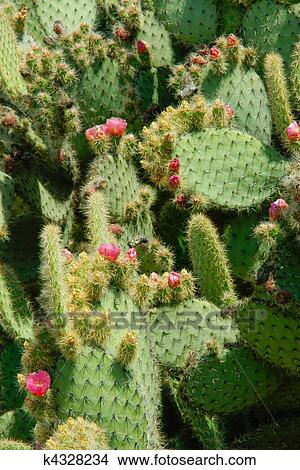 Stock photo of cactus leaves are covered with thorns there are pink cactus leaves are covered with thorns there are pink flowers and small buds on the leaves leaves cling close to each other mightylinksfo