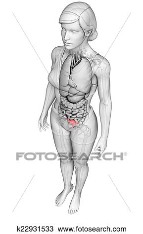 Drawing Of Female Uterus Anatomy K22931533 Search Clipart