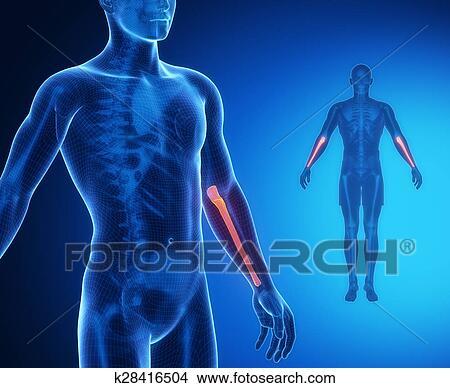 Colección de foto - cúbito, hueso, anatomía, radiografía ...