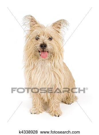 Cairn Terrier Dog Isolated On White Stock Photo K4338928 Fotosearch