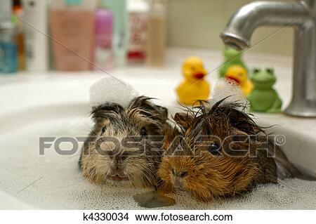 gekke, dieren, in, de, pool beeld   k4330034   fotosearch