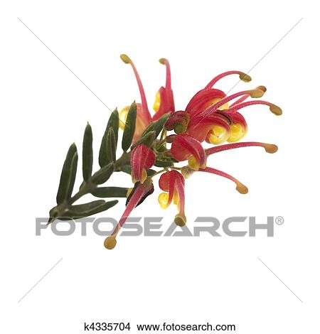 Stock photo of spring bright red and yellow flower of grevillea spring bright red and yellow flower of grevillea fireworks australian native isolated on white mightylinksfo